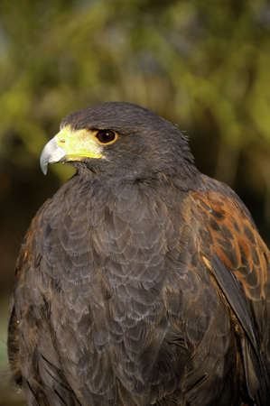Portrait of a Harris's hawk with rust colored feathers Stock Photo - 9653787