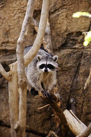A raccoon walking on a tree limb
