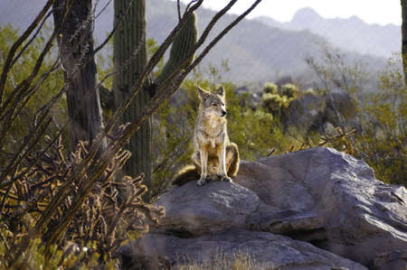 A lone coyote sitting on a rock in the desert