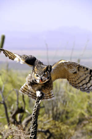 A Great Horned Owl perched on a small branch eating