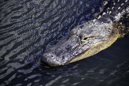 An American Alligator swimming photo