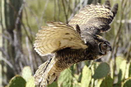 A great horned owl flying over the desert wings showing motion photo