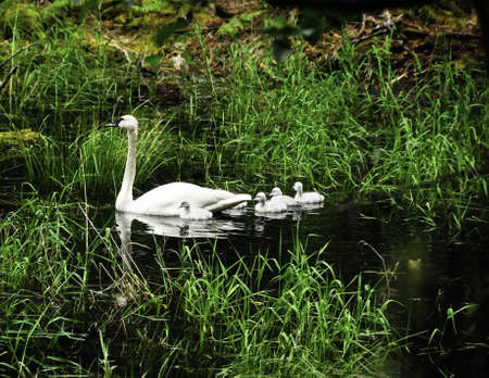 A trumpeter swan with four young swans or cygnets, swimming.
