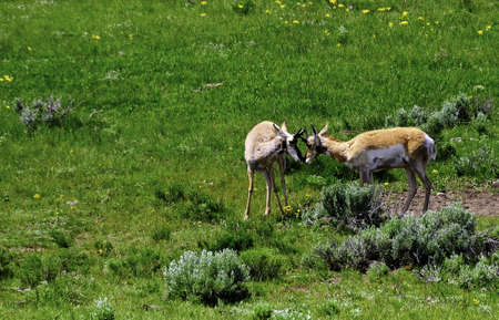 Antelope or pronhorn touching heads at Yellowstone National Park Stock fotó