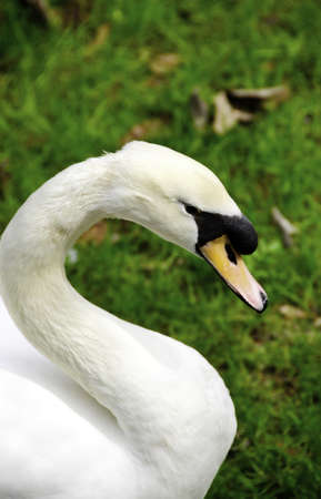 Portrait of a mute swan with grass in the background Stock Photo