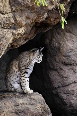 bobcat: Un lince sentado en una cueva