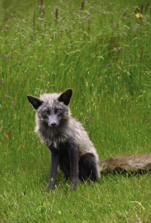 A red fox that is an unusual color looking at the camera photo