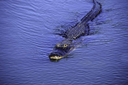 everglades: An american alligator swimming in a lake