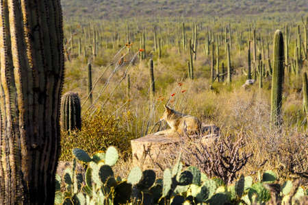 sunning: A coyote sunning on a rock in the desert