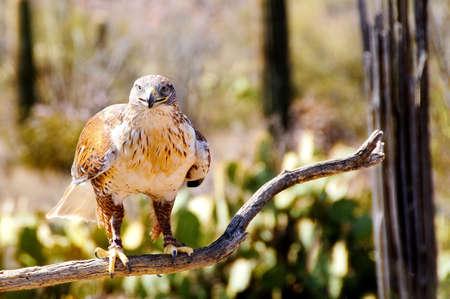 ferruginous: A Ferruginous Hawk perched on a branch