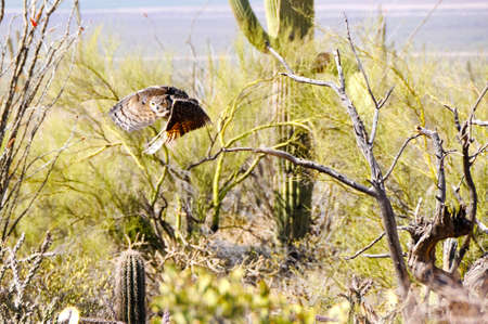 Great Horned Owl flying over desert, wings showing motion photo