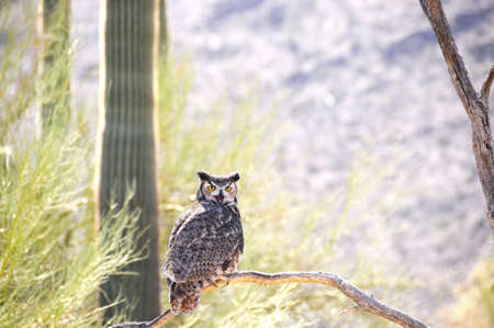 A Great Horned Owl perched on a limb with his beak open photo