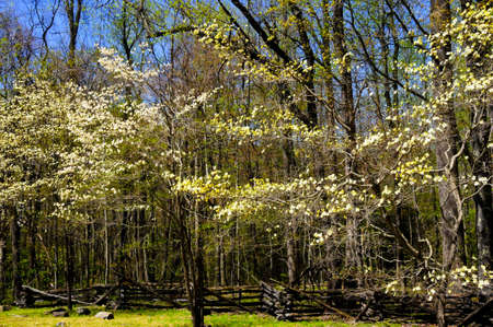 Yellow and white blooms on dogwood trees in spring