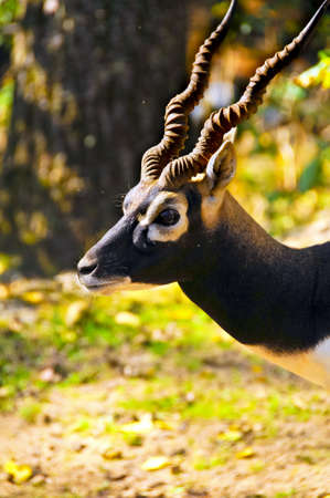 Profile of a blackbuck with twisted horns