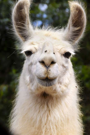 Close up of a white Llama with flies on his nose