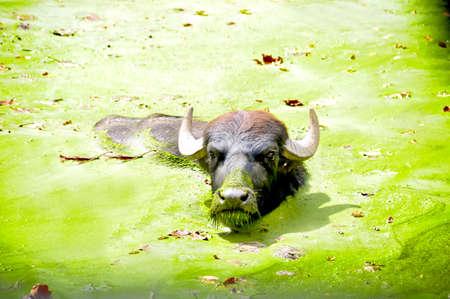A water buffalo in a green swamp