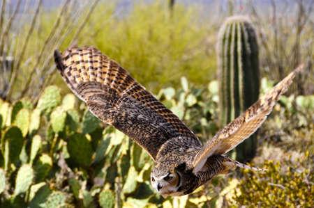 Great Horned Owl flying over desert, wings showing motion