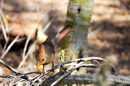 topknot: A female cardinal perched on a branch eating a worm