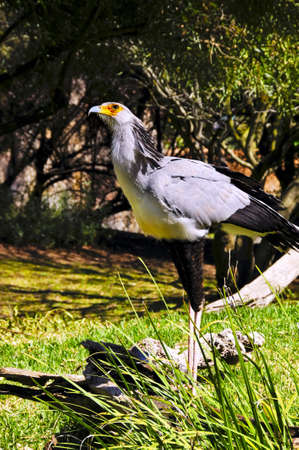 A secretary bird looking up at the sky