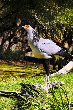 A secretary bird looking up at the sky Stock fotó - 12292883