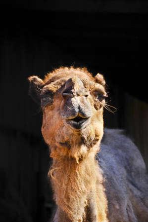 A closeup portrait of a camel Stock Photo