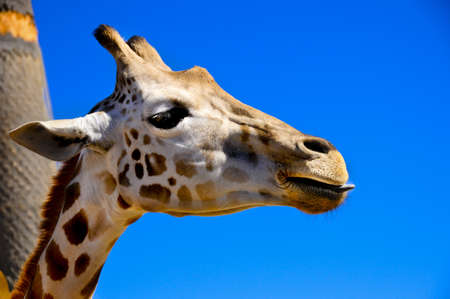 Profile of a giraffe with his tongue sticking out against a bright blue sky