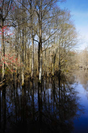 A southern swamp with bald cypress