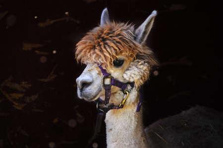 Portrait of an Alpaca with a purple halter