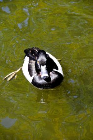 necked: Een ring necked eend drijvend in groen water