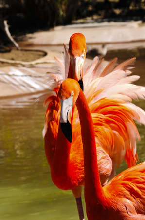 Two brightly colored caribbean flamingos photo