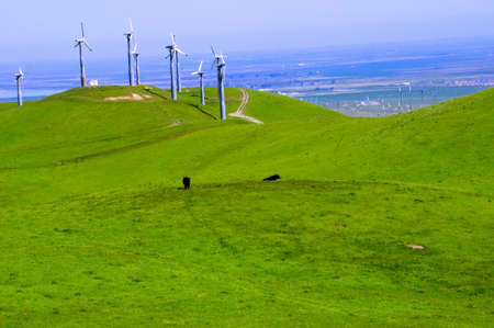 Green rolling hills with windmills and two black cows photo