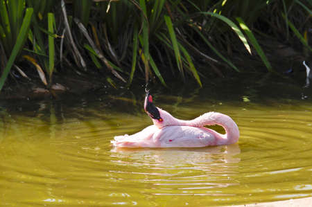 spitting: A lesser flamingo spitting water Stock Photo