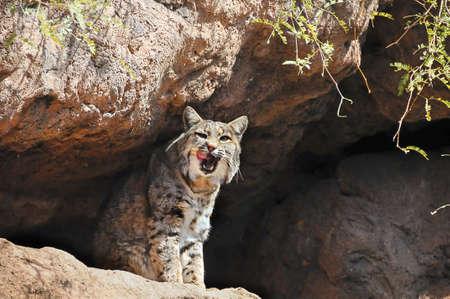 Portrait of a bobcat licking his face Standard-Bild