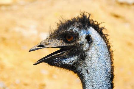 A closeup portrait of an Emu photo