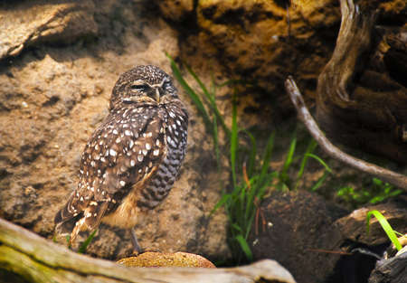 burrowing: A small burrowing owl standing on rocks Stock Photo
