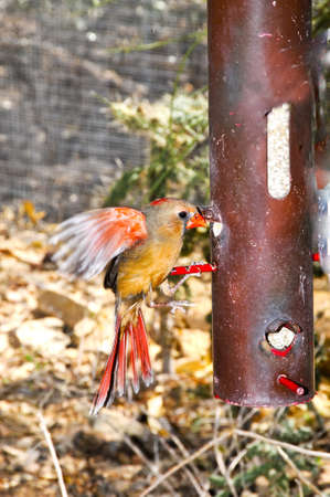 A female male cardinal takes seeds at a feeder
