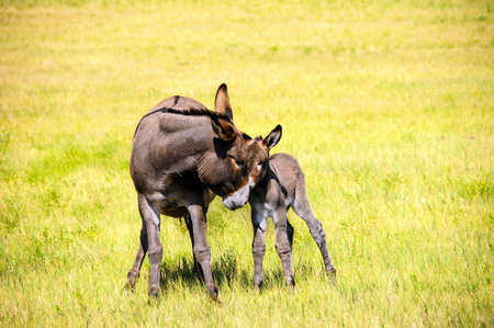 burro: Portrait of a mother and baby burro in the grass at Custer State Park, South Dakota