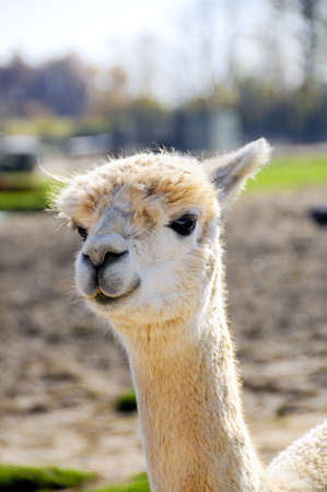 closeup portrait of a white alpaca photo