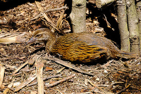 A flightless weka bird lying on the ground in New Zealand  photo