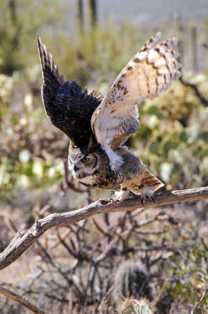 Great Horned owl ready to fly, wings showing motion