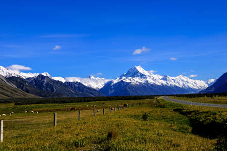 Sheep and cows grazing with Mt  Cook in the background on the south Island of New Zealand photo