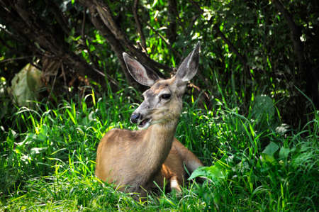 white tail deer: A white tail deer resting in the grass Stock Photo