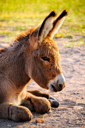 Close up of a Baby Burro at Custer State Park South Dakota Stock Photo