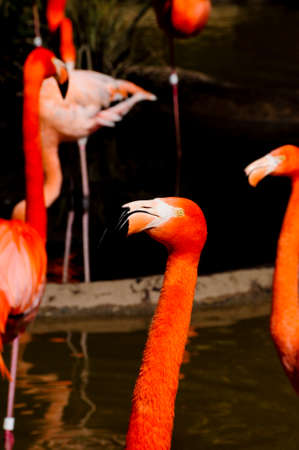 A Caribbean Flamingo in front several others with background out of focus  photo