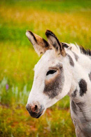 burro: A spotted Wild Burro at Custer State Park, South Dakota