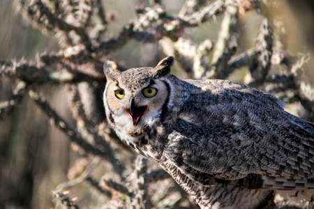 Great Horned owl perched on a limb photo