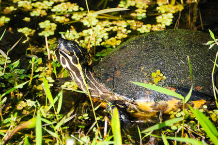 cooter: A Peninsula Cooter turtle sunning himself