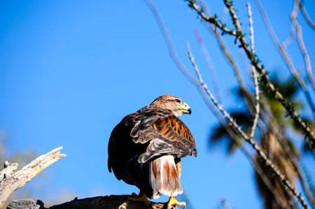 ferruginous: Ferruginous Hawk perched on a branch
