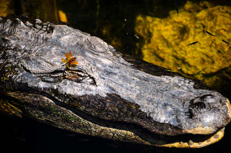 American Alligator with a dragon fly on his head and fish swimming around him  photo