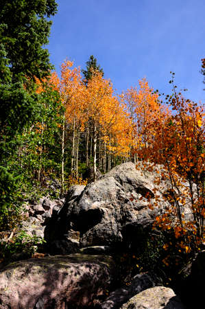 Aspens turning colors in fall at Rocky Mountain National Park Archivio Fotografico